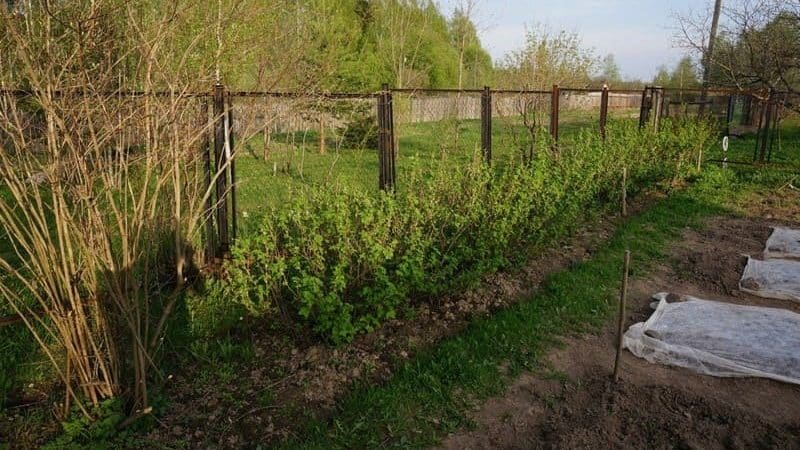 Где лучше посадить крыжовник на садовом участке