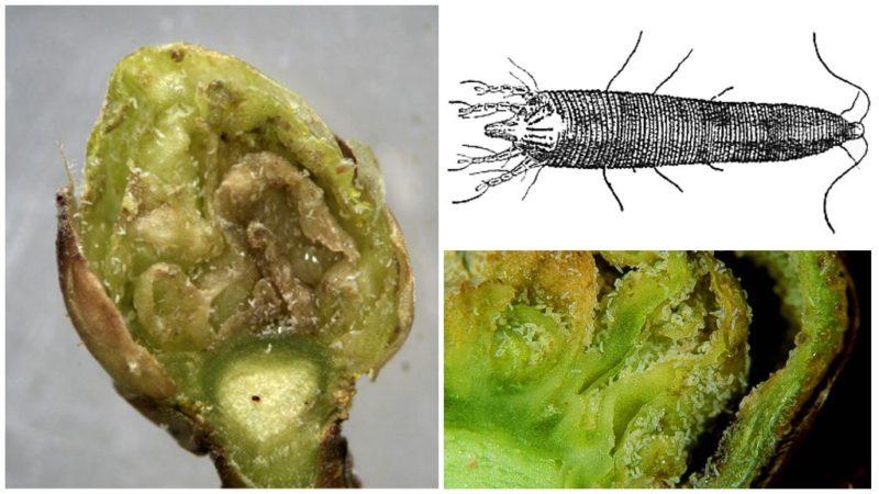 Что такое махровость черной смородины и как от неё избавиться