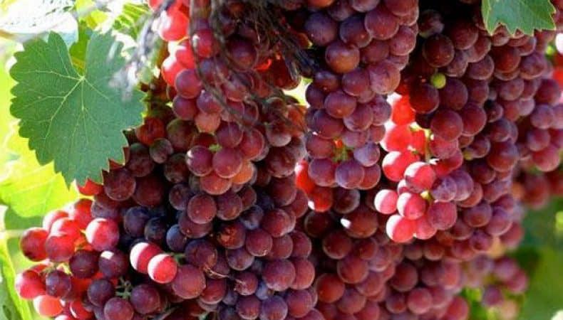 Надежные способы определить сорт винограда самостоятельно