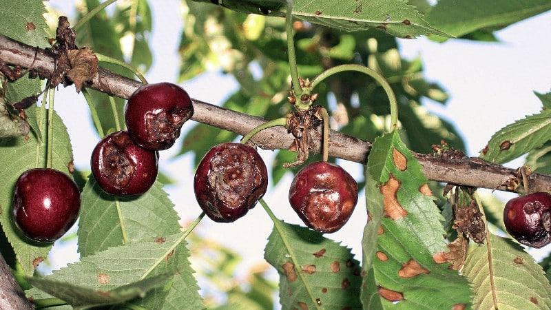 Почему желтеют листья на черешне в июле и как лечить дерево правильно