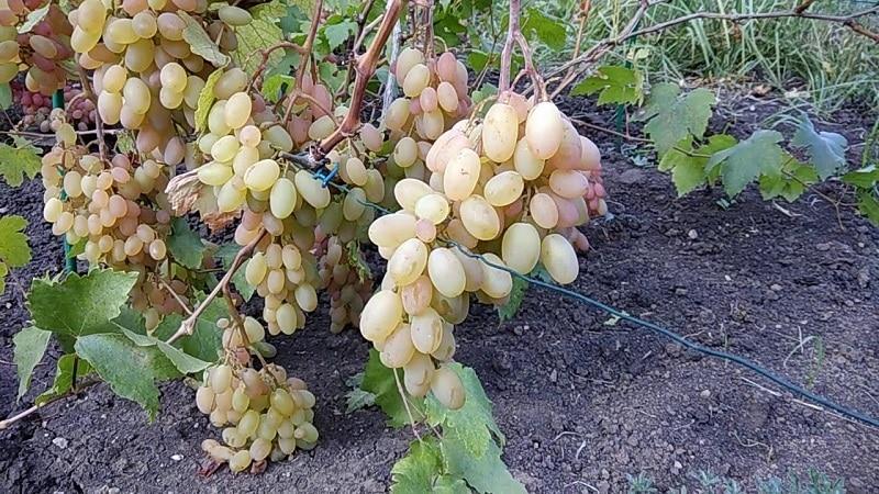 Как правильно и чем подкормить виноград в июне