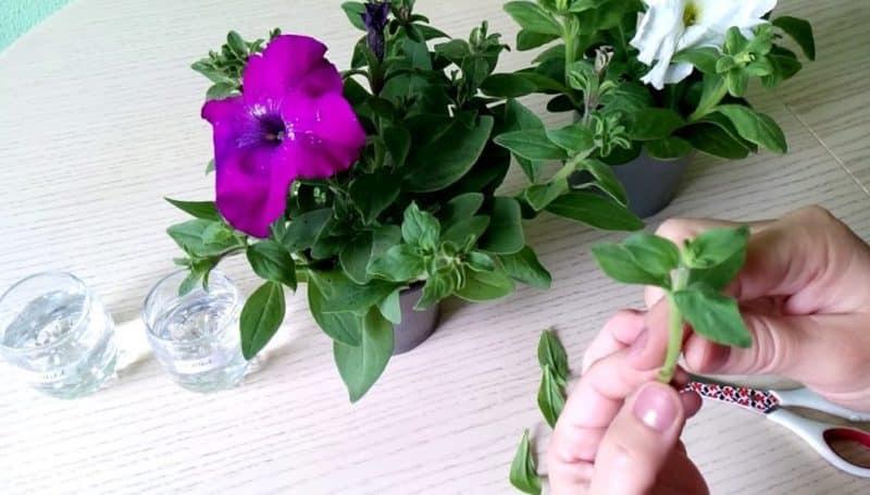 Выращивание ампельной петунии и уход: прищипывание для шикарного пышного цветения
