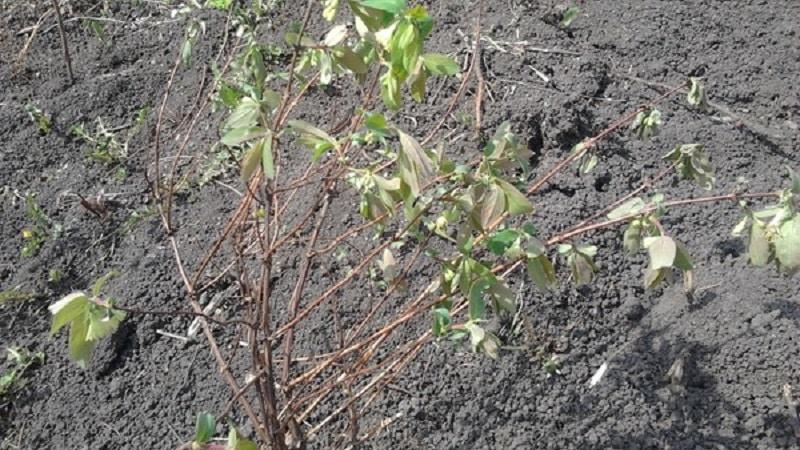 Что делать, если жимолость сохнет в саду и почему это может происходить