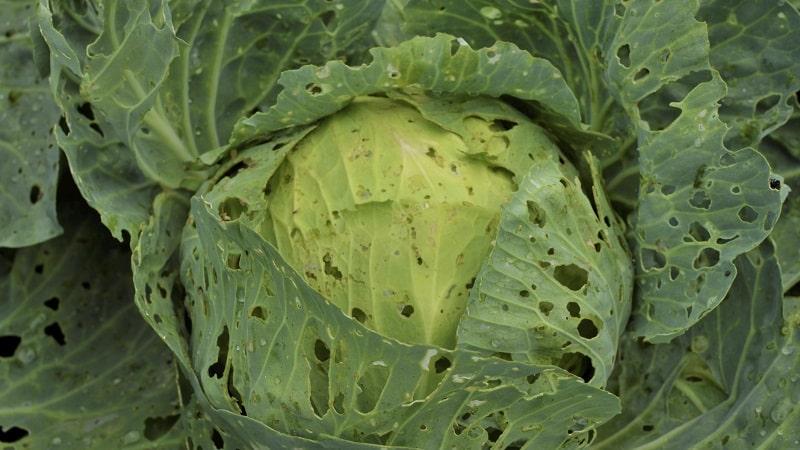 Что делать с дырками на капустных листьях