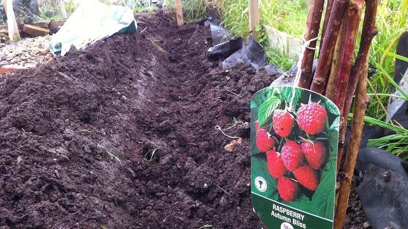 Инструкция по правильной посадке малины летом для начинающих садоводов