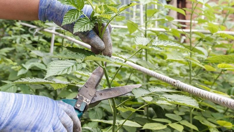 Как и когда обрезать малину летом после плодоношения: инструкция для начинающих садоводов