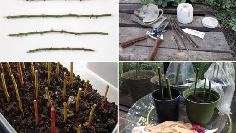 Как правильно проводить черенкование роз летом в июле: пошаговая инструкция