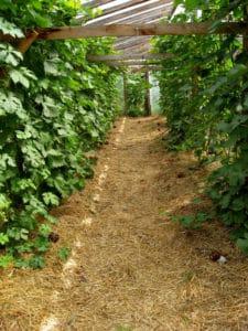 Как правильно ухаживать за виноградом в июле: что делать, советы для начинающих виноградарей