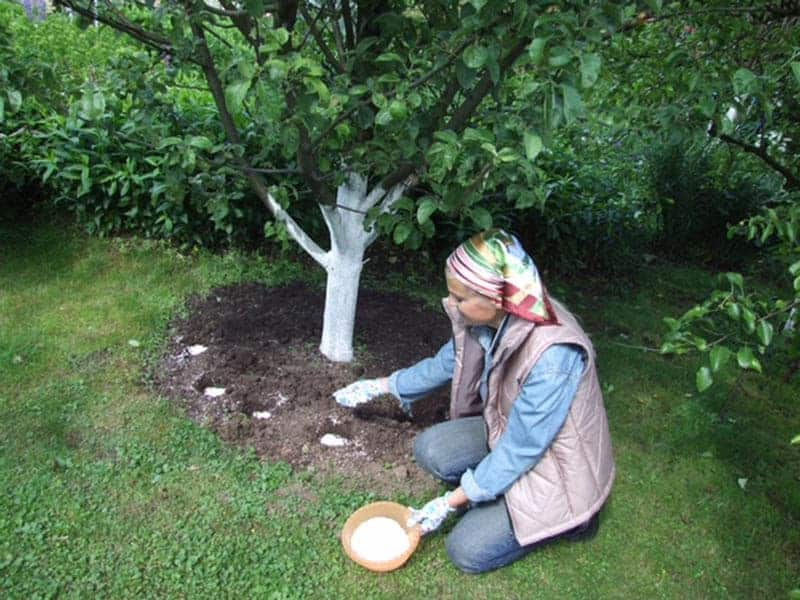 Удобряем сад правильно: чем подкормить яблоню в июле для хорошего урожая