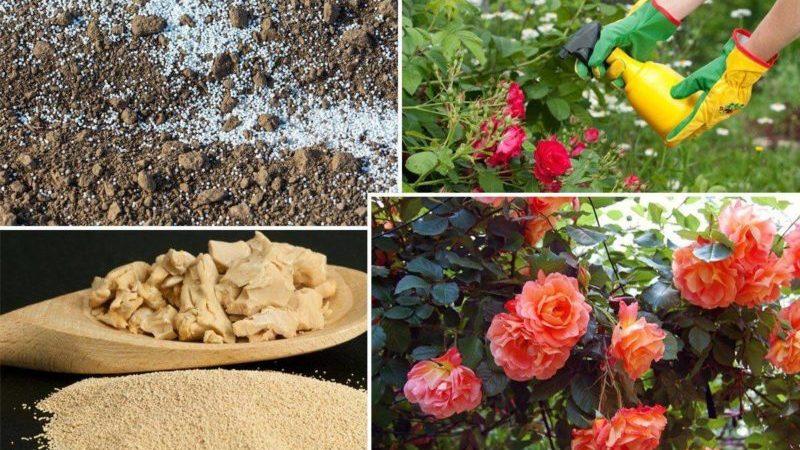 Чем подкормить розы осенью: лучшие средства