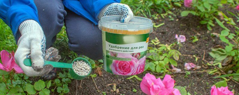 Как и чем подкормить розы в июле для пышного цветения