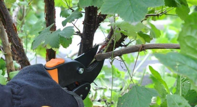 Как правильно проводить обрезку смородины летом и для чего она необходима