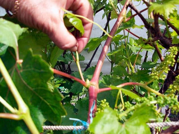 Можно ли ускорить созревание винограда в августе и как это сделать