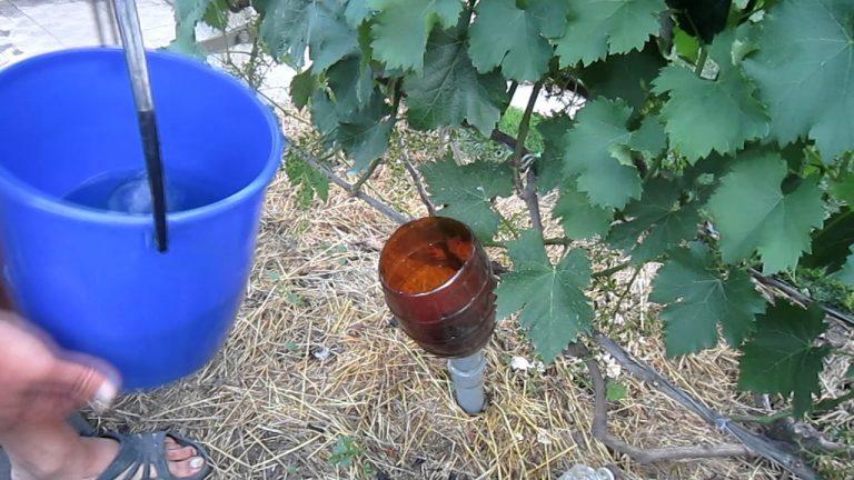 Как и чем подкормить виноград в августе: лучшие подкормки и полезные советы от виноградарей