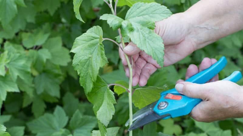 Пошаговое руководство по размножению смородины черенками летом