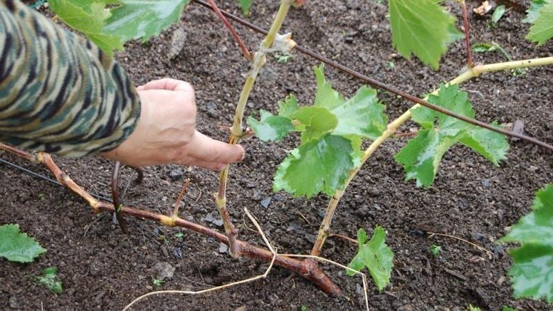 Руководство по обрезке винограда в августе в Подмосковье для начинающих виноградарей