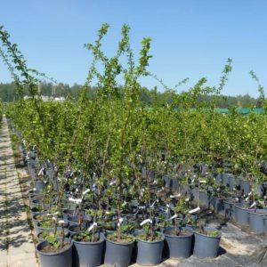 Чем хорош сорт алычи Июльская роза и почему его стоит выращивать
