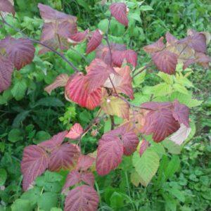 У малины в июне краснеют листья: почему это происходит и что с этим делать