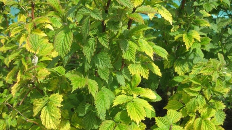 У малины желтеют листья летом: что делать и почему это происходит