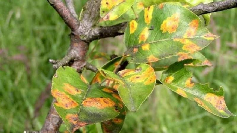 У яблони в июне желтеют листья: что делать и почему это происходит - руководство для садоводов