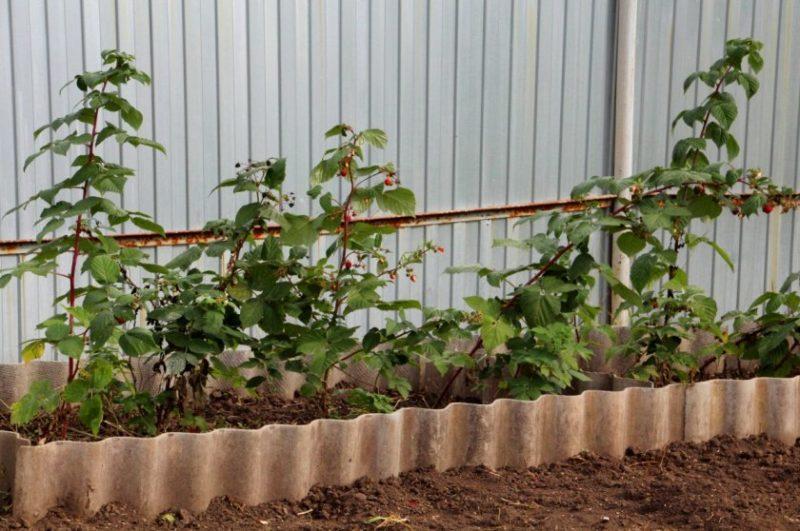 Инструкция по размножению малины летом черенками для начинающих садоводов