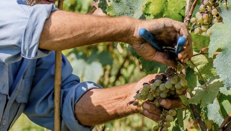 Руководство по уходу за виноградом в августе и советы опытных виноградарей