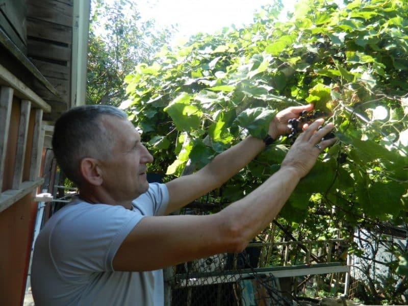 Какой уход за виноградом требуется в июне и как правильно его осуществлять