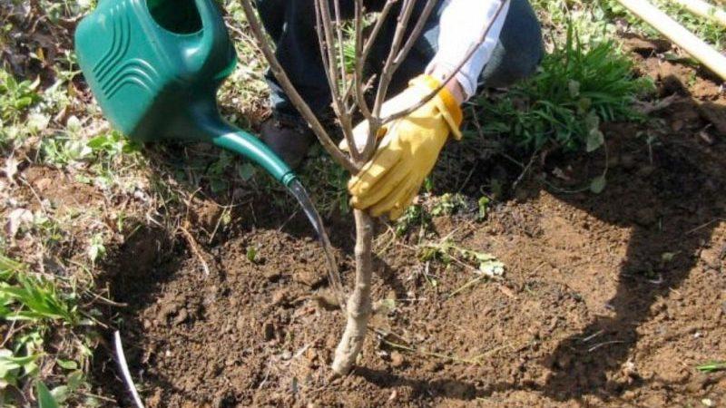 Инструкция по пересадке вишни летом на другое место для начинающих садоводов