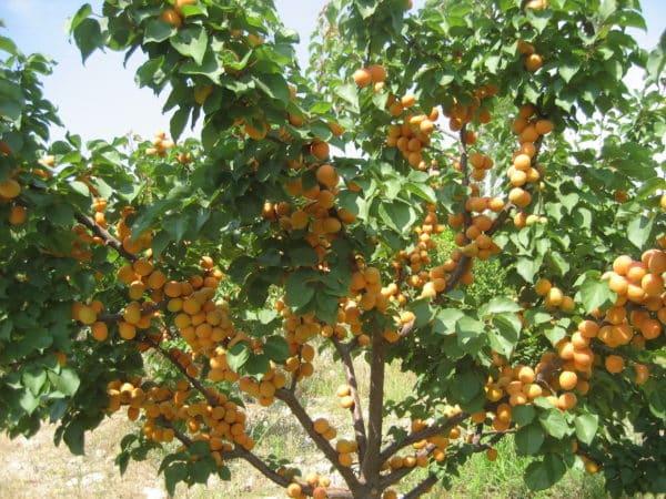 Сколько и как часто поливать абрикос летом: подробная инструкция
