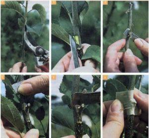 Чем хороша груша Августовская роса и почему её стоит выращивать
