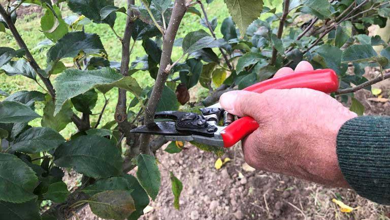 Пошаговая инструкция по черенкованию яблони летом для начинающих
