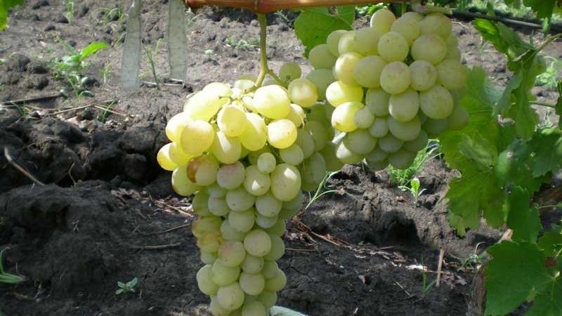 Что такое технические сорта винограда и какие из них самые лучшие