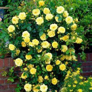 Лучшие зимостойкие сорта плетистых роз, цветущие всё лето