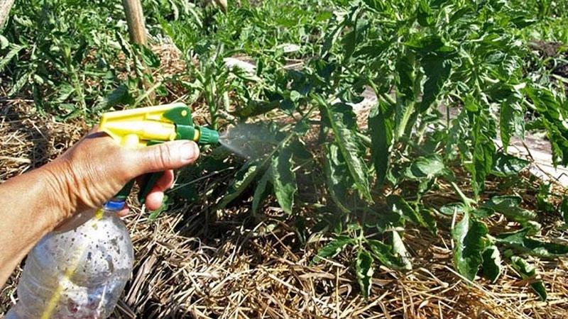Инструкция по обработке помидоров от фитофторы йодом и борной кислотой: боремся с заболеванием быстро и эффективно
