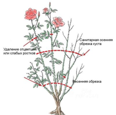 Инструкция для начинающих цветоводов: как обрезать розы после цветения летом, чтобы они снова зацвели