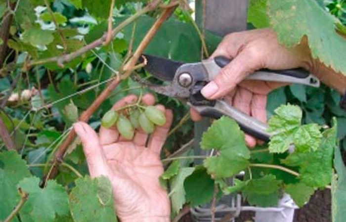 Пошаговое руководство по обрезке винограда летом для начинающих виноградарей