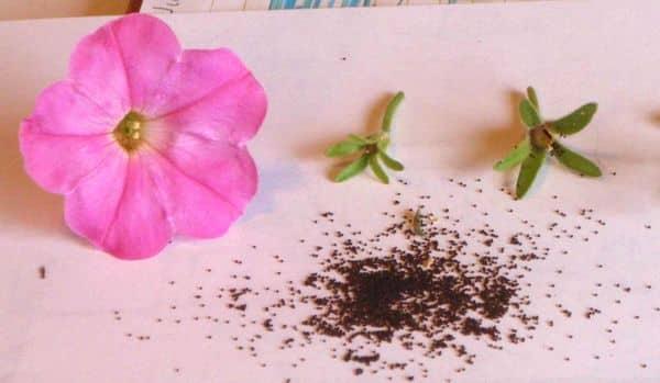 Как правильно собрать семена петунии в домашних условиях