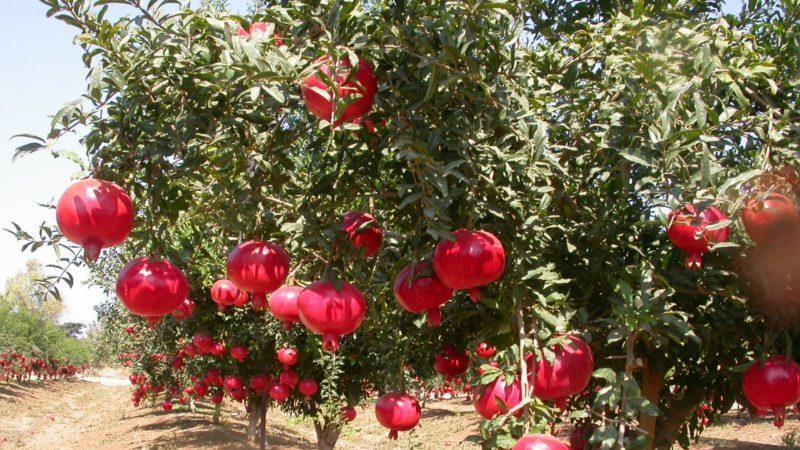 Гранат- как растет, декоративные сорта, полезные свойства, как вырастить из семян, размножение прививкой, черенками, уход в саду и домашних условиях