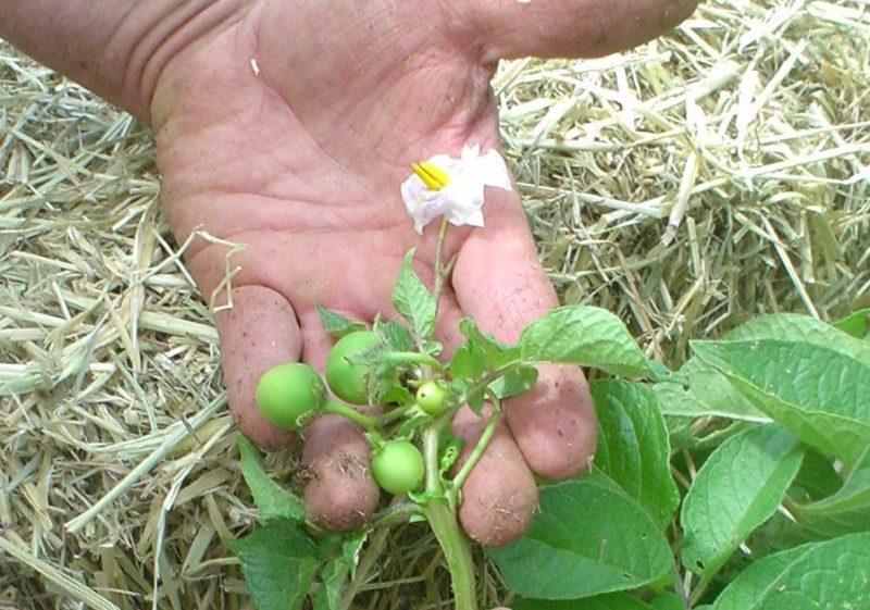 Есть ли плоды у картофеля и как их называют