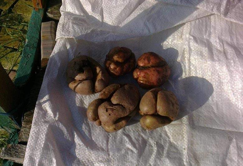 Что делать, если картошка лопается и растрескивается в земле, почему так происходит
