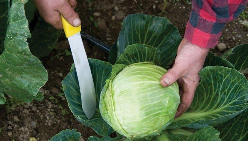 Когда лучше срубать капусту на засолку