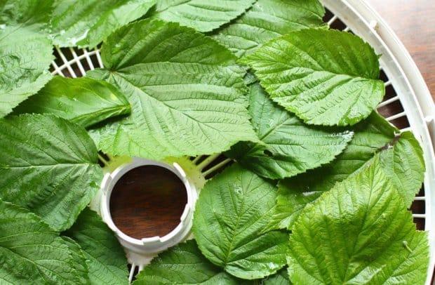 Лечебные свойства и противопоказания листьев малины для женщин