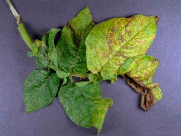 Подробные описания и эффективные способы лечения болезней картофеля