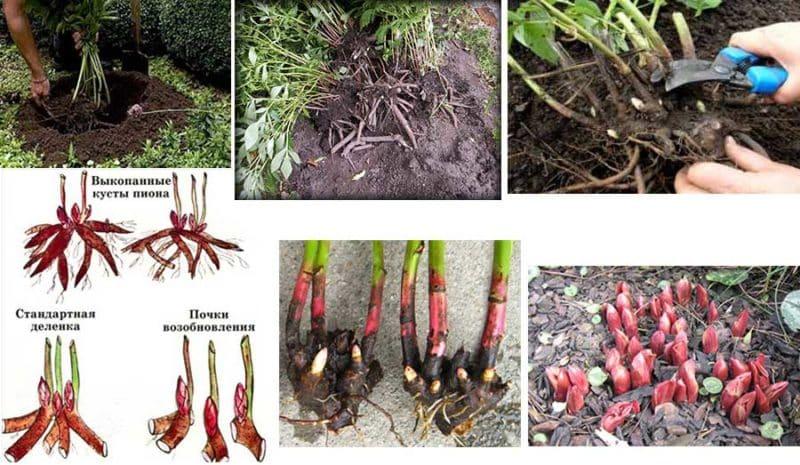 Пошаговая инструкция по посадке пионов летом в грунт для начинающих цветоводов