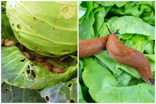 Чем обработать капусту от гусениц и слизней: народные средства