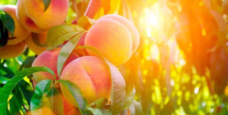 Как правильно провести обрезку персика летом: схемы и порядок действий