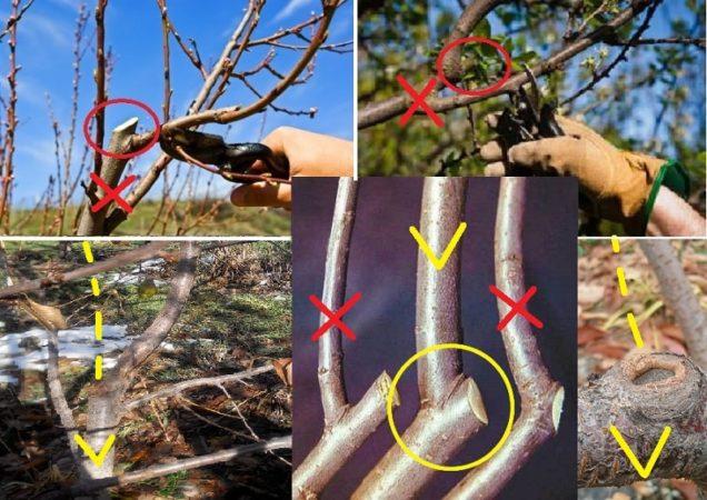 Для чего нужна обрезка вишни летом и как правильно ее делать