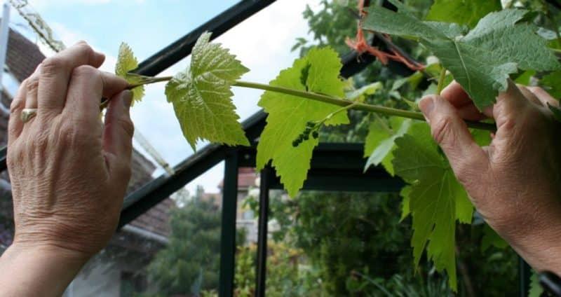 Как правильно обрезать зеленые молодые побеги винограда летом: схема и пошаговая инструкция