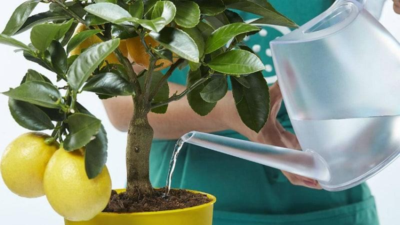 Обрезка и формировка лимона в домашних условиях