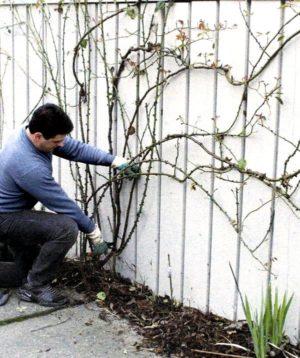 Для чего нужна обрезка плетистой розы после цветения летом и как правильно её проводить